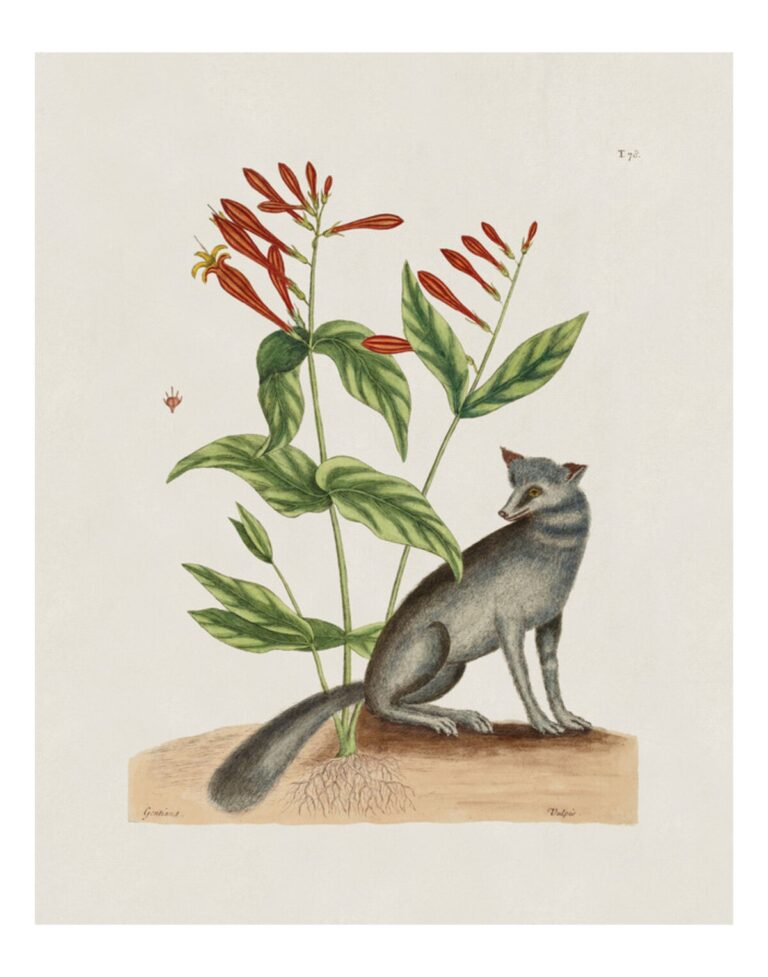 The Grey Fox And Indian Pink The Natural History Of Carolina Florida And The Bahama Islands 1000museums